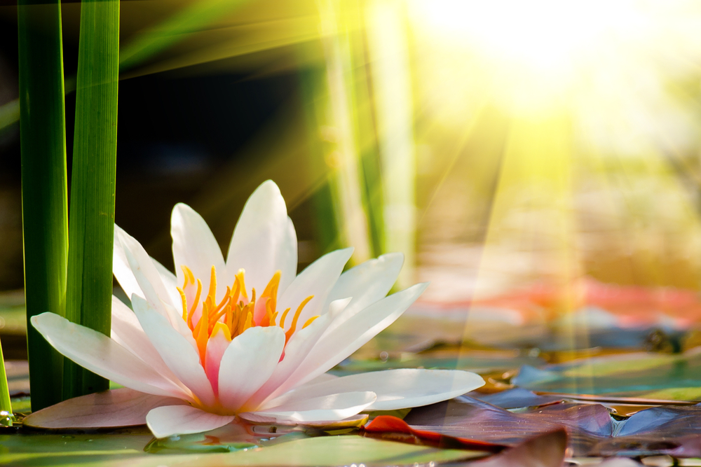 alicia explores / the secret meaning of the lotus flower, Natural flower