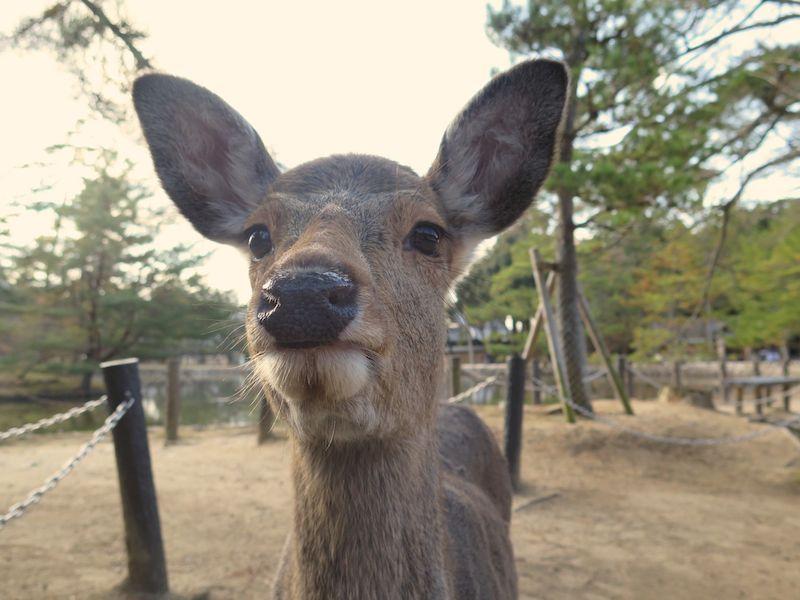 Cute Deer Nara Park Japan